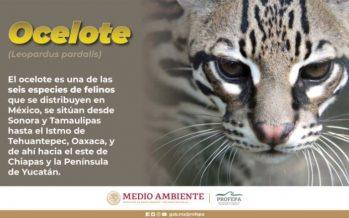 Ocelote (Leopardus pardalis), una especie vital para los ecosistemas que son su hábitat