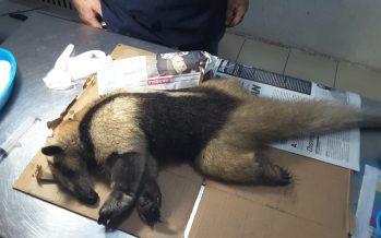 Indigna hallazgo de un oso hormiguero (Tamandua mexicana), brutalmente asesinado a machetazos en Las Barrillas, Veracruz