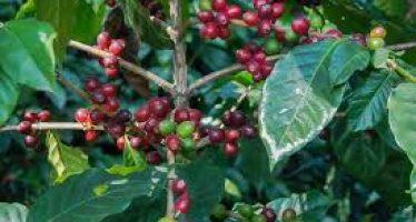 Expertos mexicanos, analizan iniciativa de Ley para el Fomento a la Cafeticultura