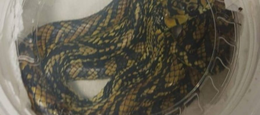 Decomisan Guardia Nacional y Profepa, cargamento de reptiles en Mérida