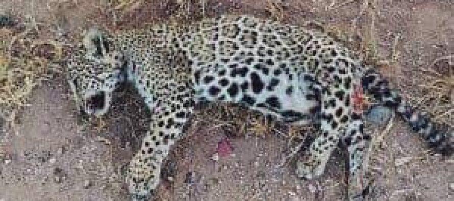 Muere cría de jaguar por graves lesiones al ser atropellado en carretera de Sinaloa