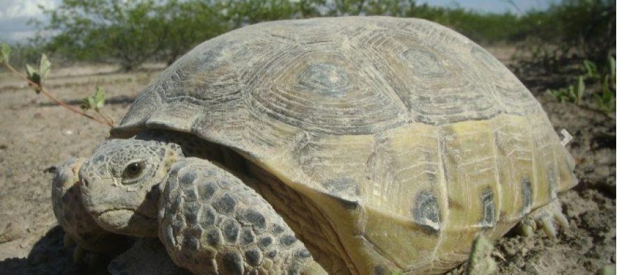 Serio riesgo de extinción de la tortuga del bolsón (Gopherus flavomarginatus), habitante de la Reserva de la Biósfera Mapimí