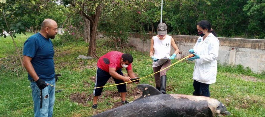 Red de Varamientos de Mamíferos Marinos de Quintana Roo, atiende delfín varado en la bahía de Chetumal