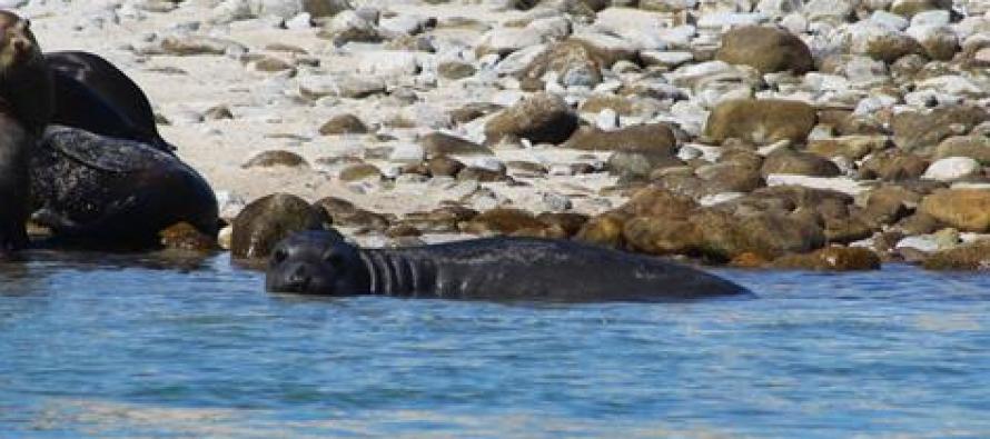 Registran elefante marino (Mirounga angustirostris) en la lobera de reproducción Isla Granito en BC