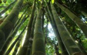 Bambú, la planta de los mil usos, en México existen 36 especies nativas de zonas tropicales