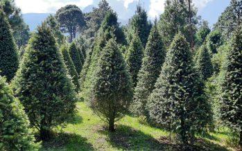 Menos impacto ambiental de un árbol de Navidad cultivado, que uno artificial