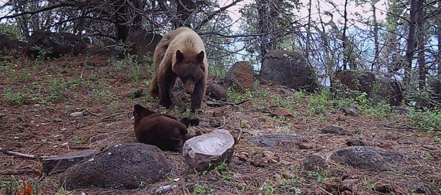 Exitosa la conservación del oso negro americano (Ursus americanus machetes) en el APFF Campo Verde, Chihuahua