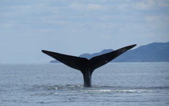 Llega a México la ballena azul (Balaenoptera musculus) a parir y criar ballenatos, y a reproducirse
